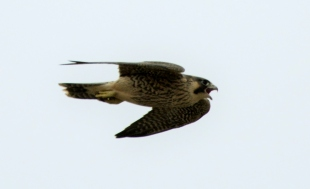 Peregrine Falcon juv
